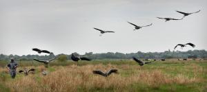 Cranes starting to take longer group flights